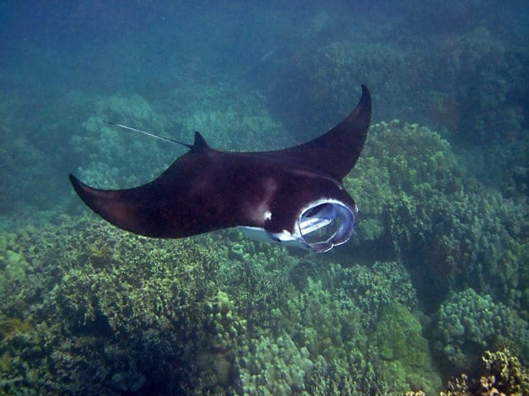Manta ray swimming in the waters of Hawaii